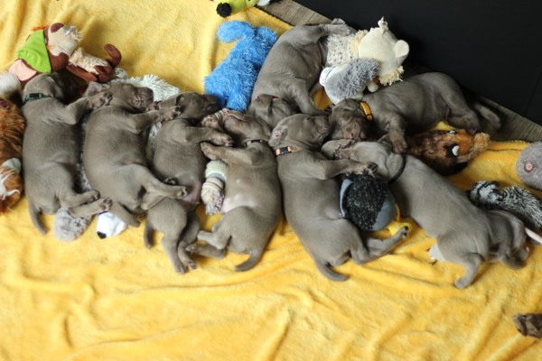 IMG_9833-slovakian-wire-haired-pointer-puppies