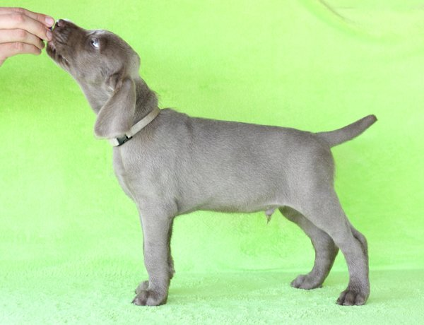 puppy-dog-breed-slovakian-rough-haired-pointer-3-1-1