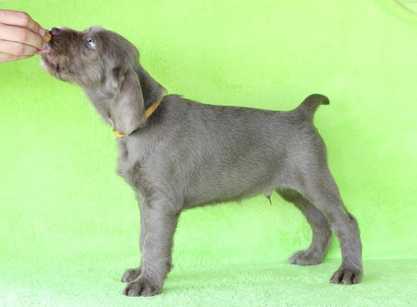 puppy-dog-breed-slovakian-rough-haired-pointer-6-1-1