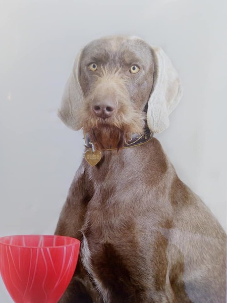 slovakian-wire-haired-pointer-france