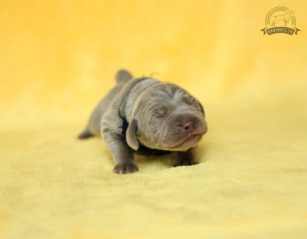 slovakian-wire-haired-pointer-puppies-(2)