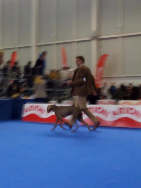 spain-dog-show-slovakian-pointer
